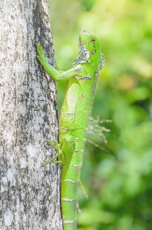 Lagarto verde en un tronco de árbol, conocido como iguana fotos de archivo libres de regalías