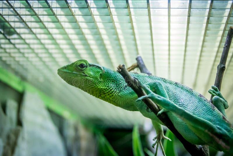 Lagarto verde en una jaula - gutturosus del ` s Bush Anole Polychrus de Berthold imagen de archivo libre de regalías