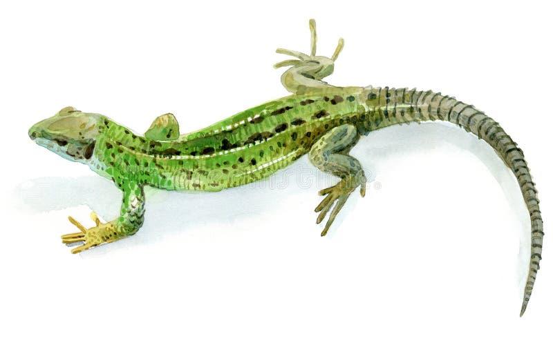 Lagarto verde, fêmea ilustração stock