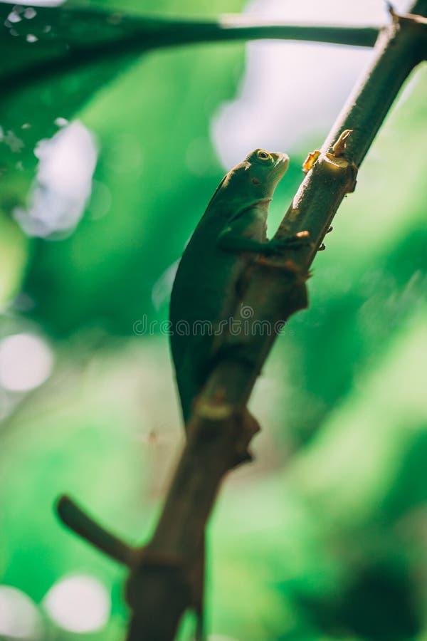 Lagarto verde na floresta úmida em Costa-Rica fotografia de stock royalty free