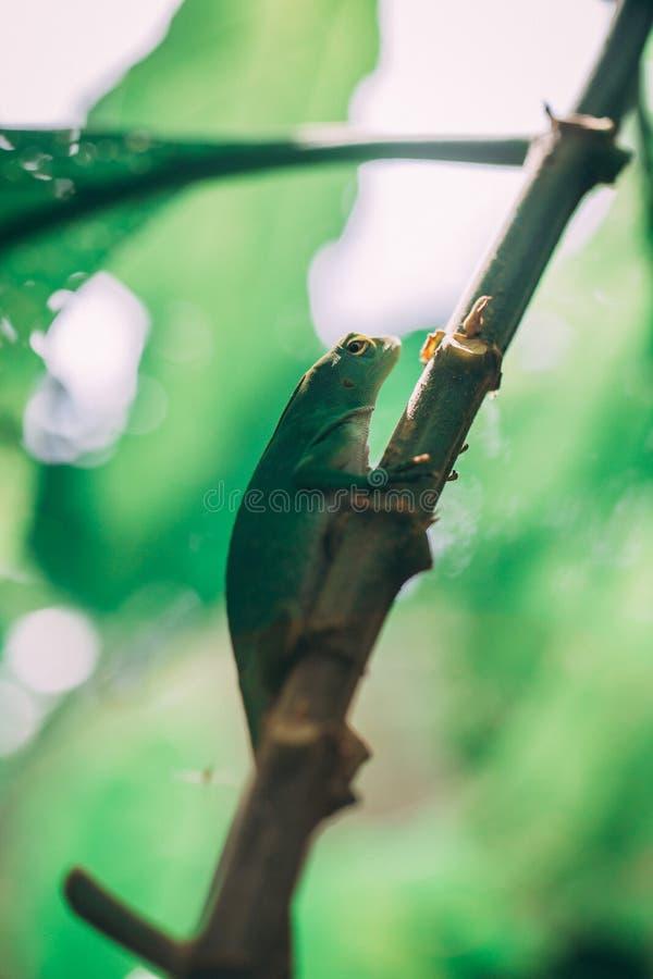 Lagarto verde na floresta úmida em Costa-Rica imagem de stock royalty free