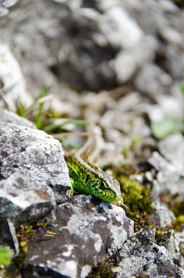 Lagarto verde nas rochas fotos de stock royalty free