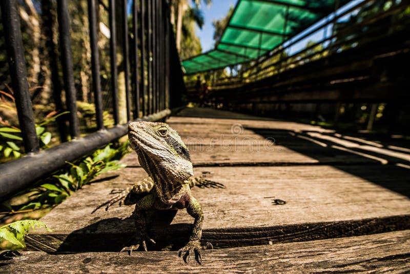 Lagarto verde que enfrenta a câmera fotografia de stock royalty free
