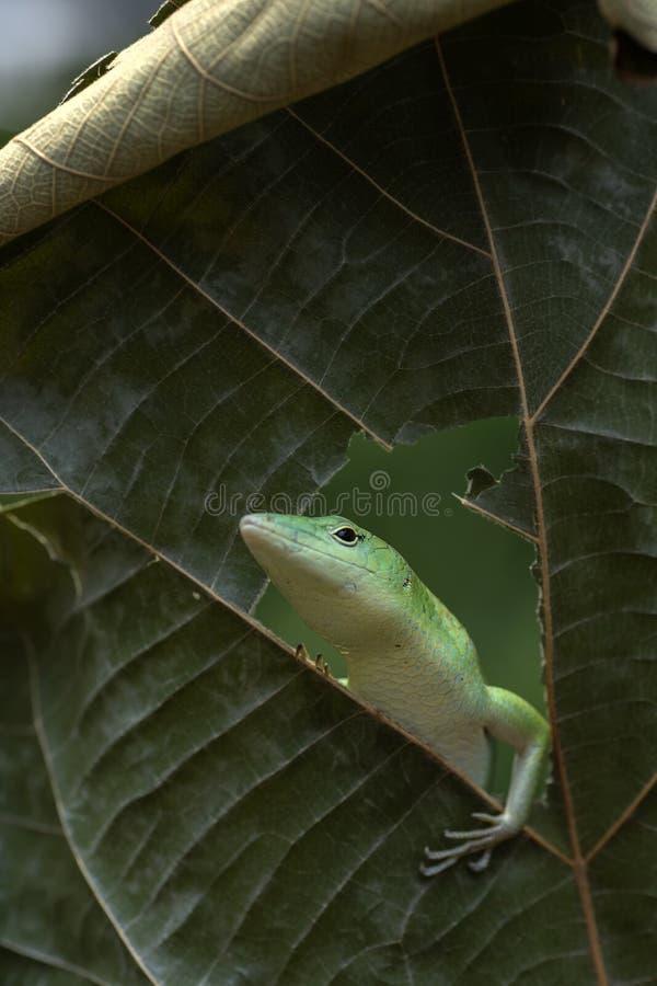 Lagarto verde-ralado numa floresta fotografia de stock royalty free