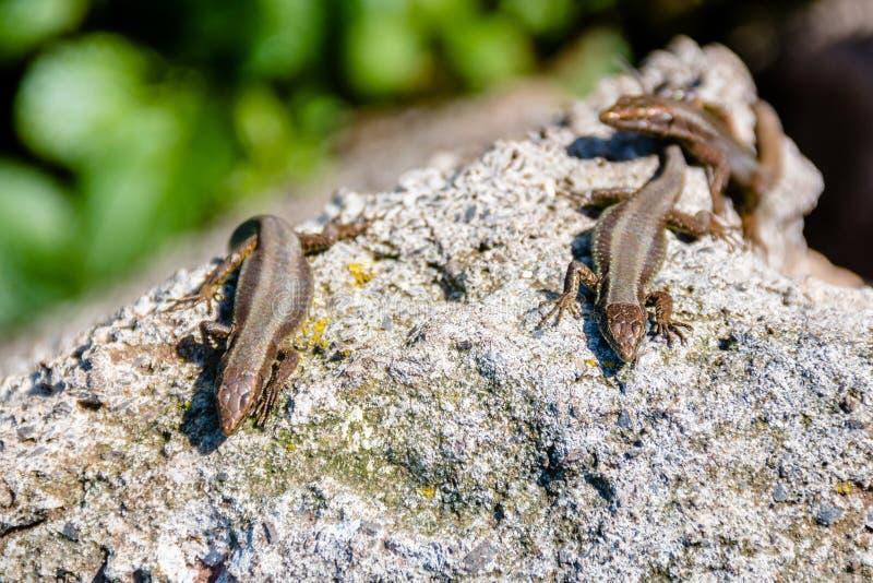 lagartos foto de archivo libre de regalías