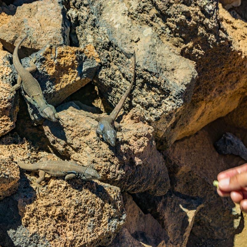 Lagartos amarelos - o galloti de Gallotia está descansando na pedra vulcânica da lava Olhares fixos do réptil na palma do homem q foto de stock royalty free