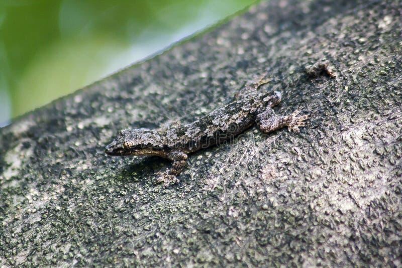 Lagartos da camuflagem na árvore a não observar facilmente fotos de stock