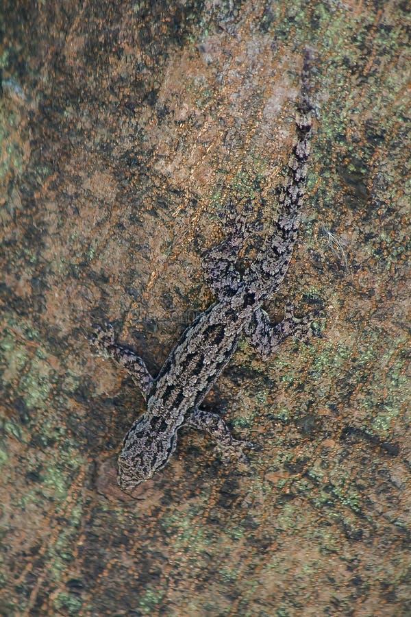 Lagartos da camuflagem na árvore a não observar facilmente foto de stock royalty free