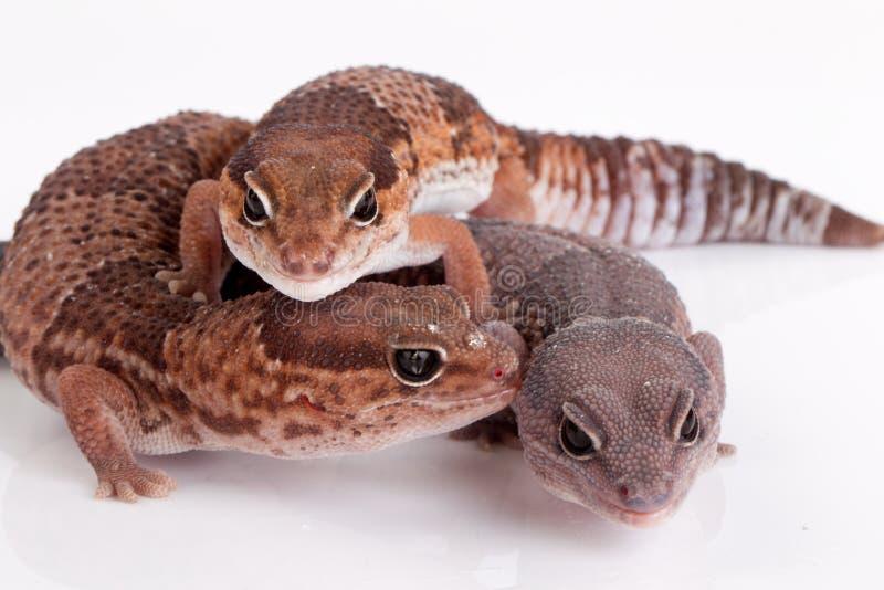 Lagartos del Gecko fotos de archivo libres de regalías