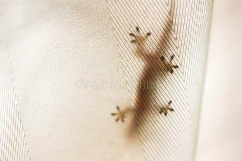 Lagartos domésticos escondidos atrás das cortinas imagens de stock
