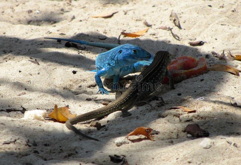 Lagartos en la playa 2 foto de archivo libre de regalías
