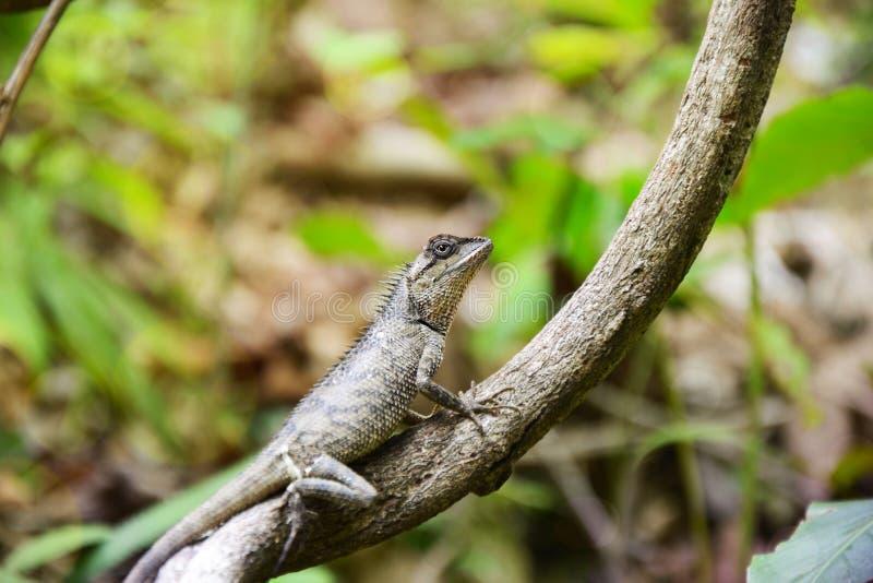 Lagartos nos ramos na floresta fotografia de stock royalty free