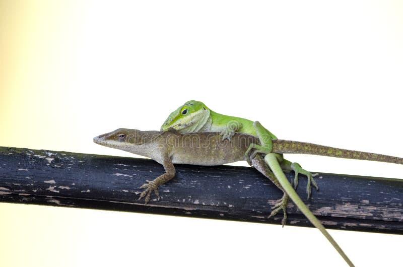 Lagartos verdes de acoplamiento de Anole del camaleón, Georgia los E.E.U.U. fotos de archivo libres de regalías