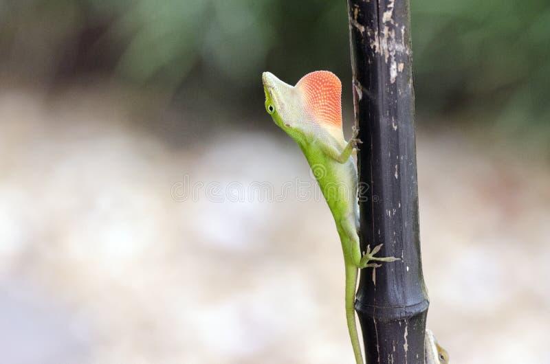 Lagartos verdes de Anole del camaleón, Georgia los E.E.U.U. foto de archivo