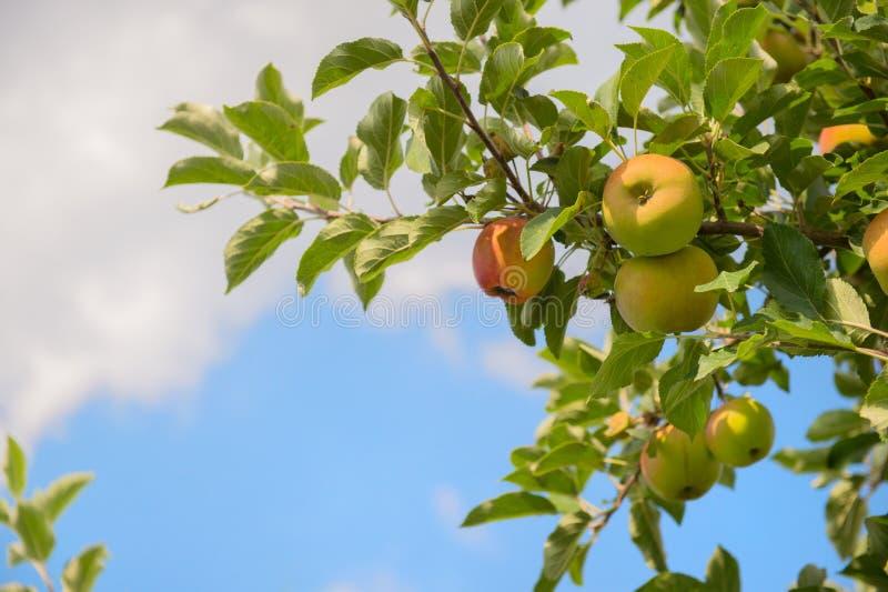 Lage appelbomen stock foto's