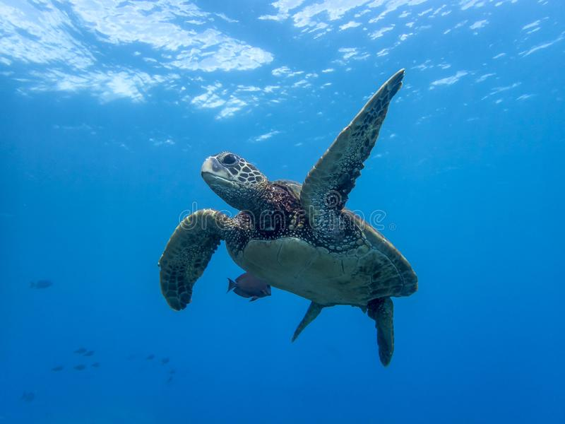 Lage Hoek Dichte Omhooggaande Zeeschildpad die in Blauwe Oceaan met Surfac zwemmen stock afbeelding