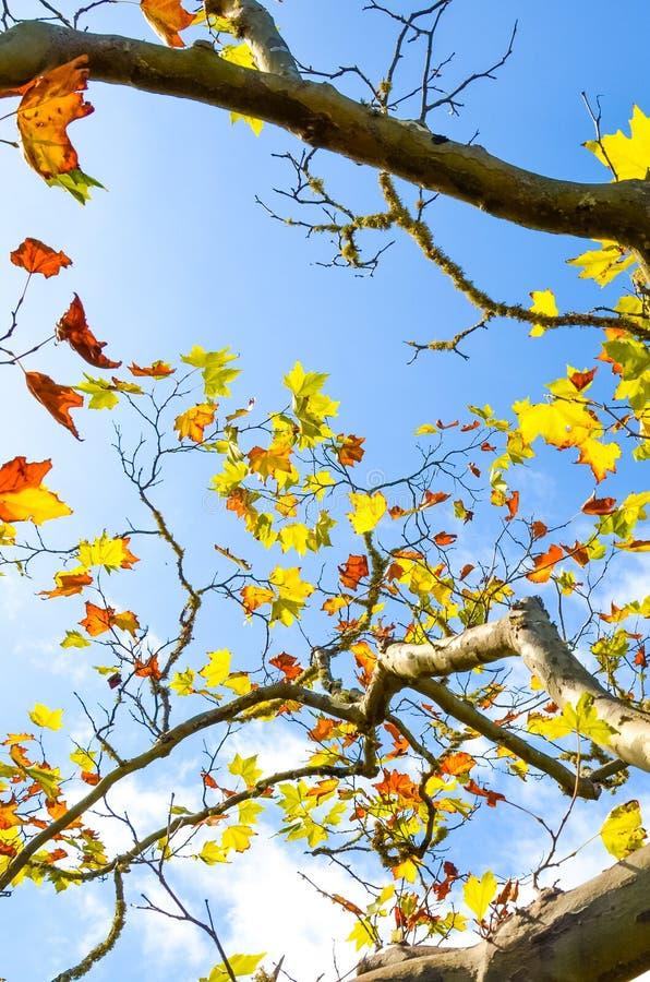 Lage hoekweergave met bijkantoren van de maple-boom met kleurrijke herfstbladeren valconcept, kleurrijke bladeren Blauwe hemel in royalty-vrije stock afbeelding