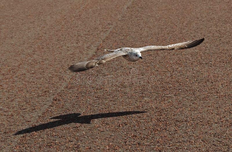 Lage Vliegende Zeemeeuw stock foto