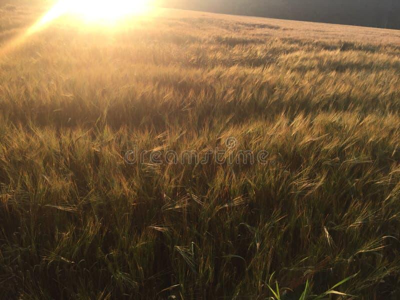 Lage zon die een rijp gebied veranderen in goud stock afbeelding