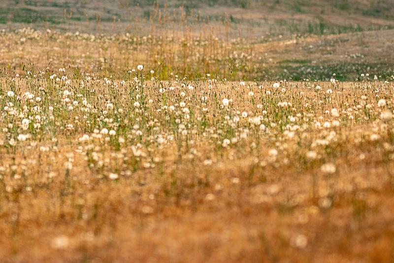 lagen emmer gouden grassen en donkergroene paardebloemen royalty-vrije stock fotografie