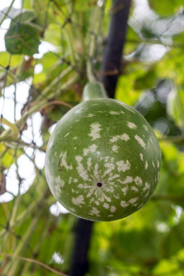 Lagenaria siceraria Molina Standl, Kalebasse lizenzfreies stockfoto