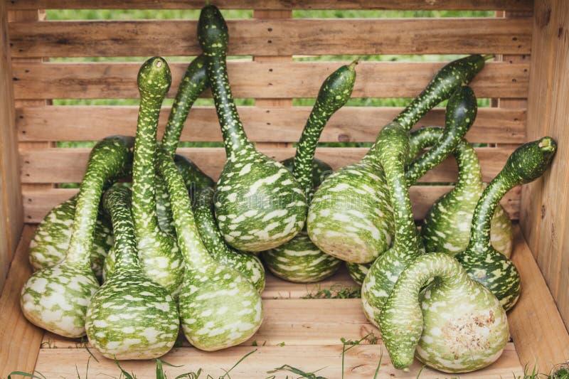 Lagenariasiceraria, kalebass eller flaskkalebass i en träask fotografering för bildbyråer