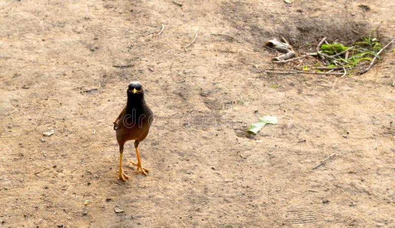Lagerföra bilden av en svart och bryna den indiska mynafågeln royaltyfria foton