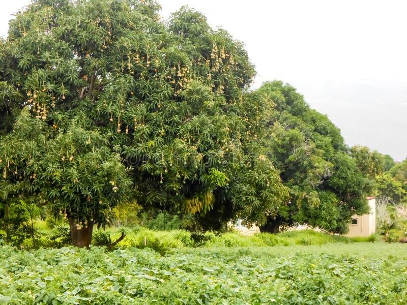 Lagermangoträd i linje arkivbilder