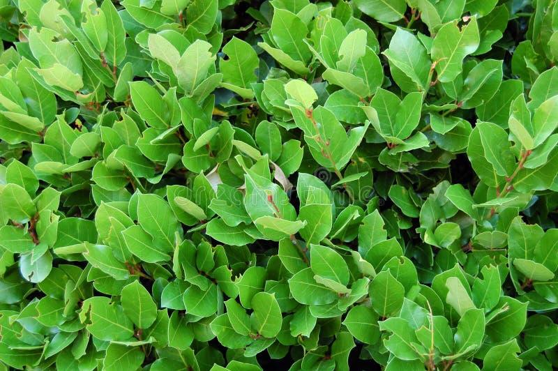 Lagersidor, häck av gröna lagerbuskar Naturtextur, vegetal bakgrund arkivfoton