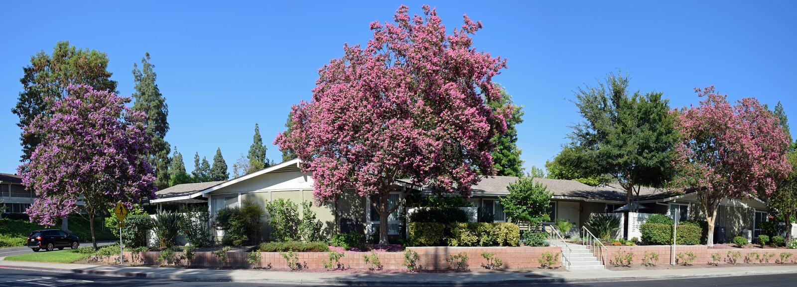 Lagerstroemia, commonly known as crape myrtle or crepe myrtle. Panorama image shows a trio of Lagerstroemia, commonly known as crape myrtle or crepe myrtle ` royalty free stock photos