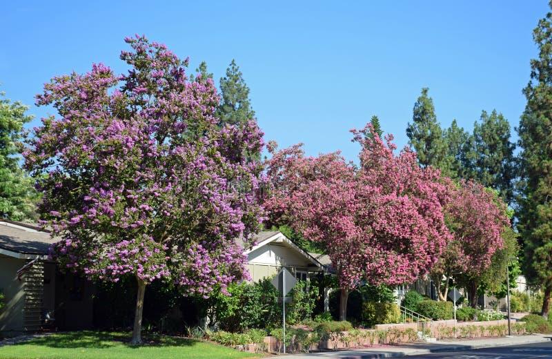 Lagerstroemia, conosciuto comunemente come l'albero di San Bartolomeo o il mirto di crêpe fotografia stock