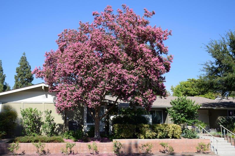 Lagerstroemia, conosciuto comunemente come l'albero di San Bartolomeo o il mirto di crêpe fotografia stock libera da diritti