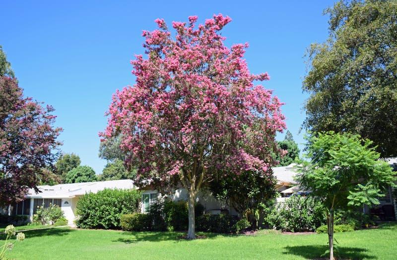 Lagerstroemia, conosciuto comunemente come l'albero di San Bartolomeo o il mirto di crêpe immagine stock libera da diritti