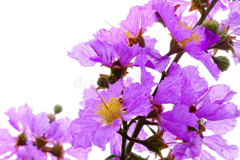 Lagerstroemia floribunda Bungor, Tajlandzki Crape mirt lub Kedah fotografia royalty free