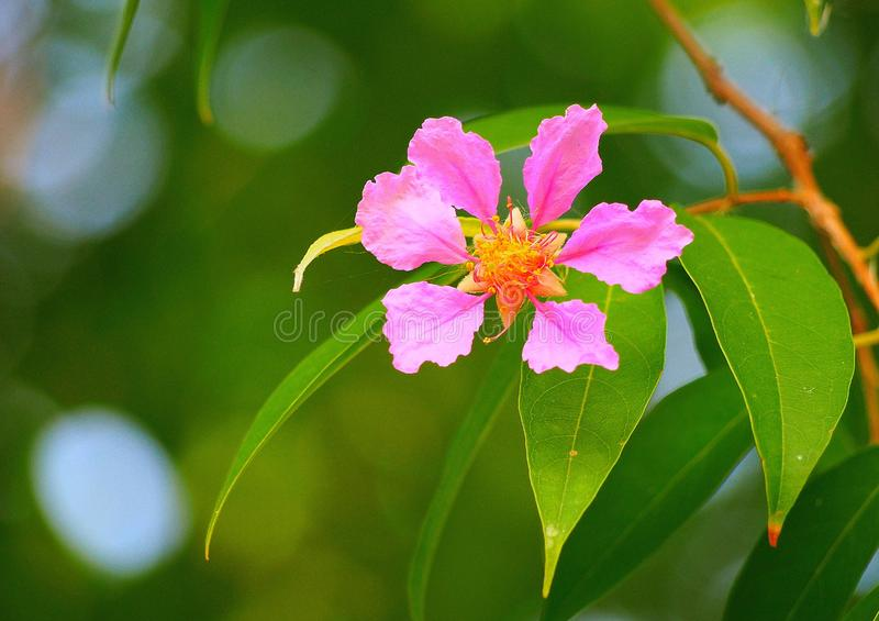 Lagerstroemia floribunda Lagerstroemia floribunda lub także znać jako Tajlandzki crape mirt i Kedah bungor, fotografia stock
