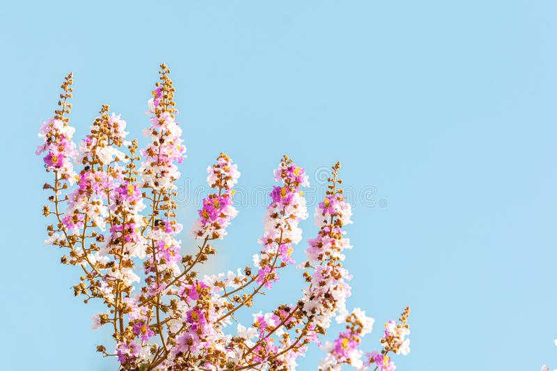 Lagerstroemia floribunda or Thai crape myrtle flowers at the top of the tree. stock images