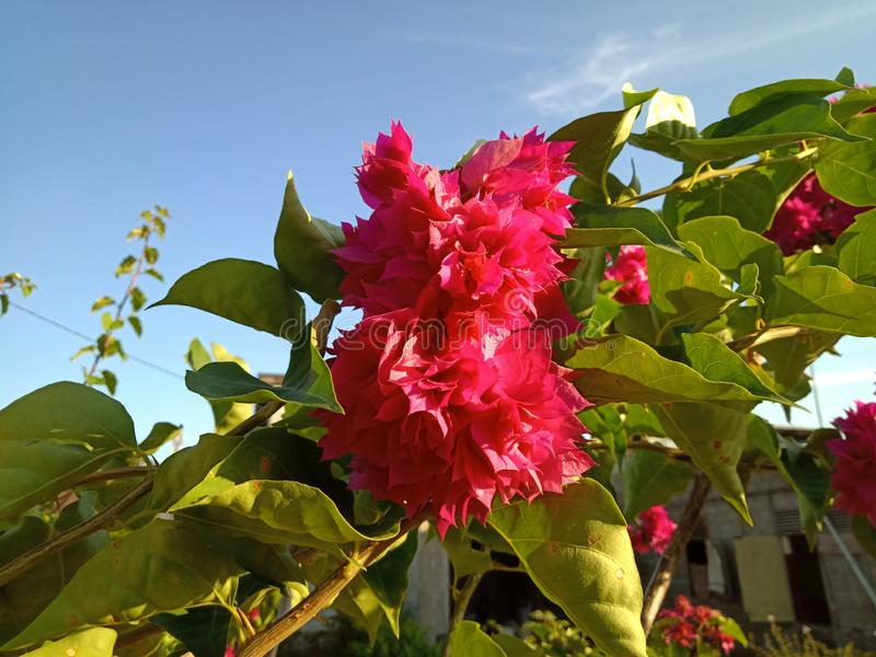 Lagerstroemia indica l LYTHRACEAE Красивый розовый цветок стоковое фото rf