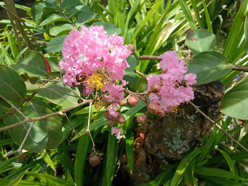 Lagerstroemia Indica L Sch?ne rosafarbene Blume stockbild