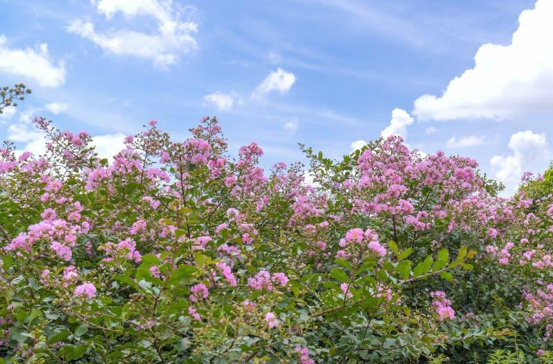 Lagerstroemia kwiatów indica kwiat w ogródzie obraz royalty free