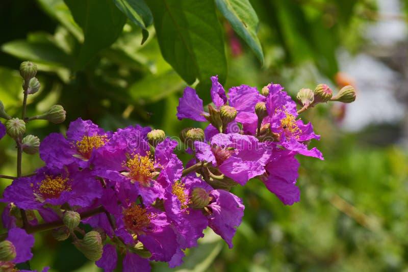 Lagerstroemia Speciosa †'piękny menchia kwiat fotografia royalty free