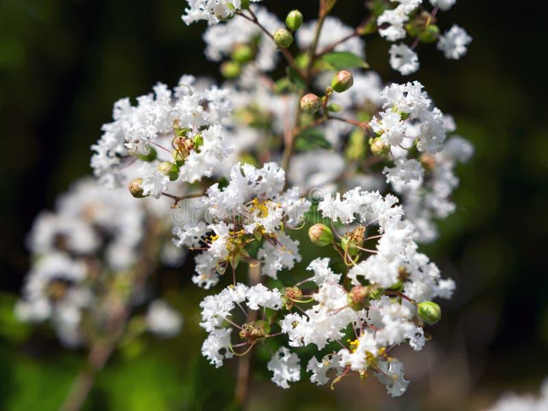 Lagerstroemia Speciosa biel zdjęcie stock