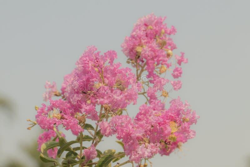 Lagerstroemia Speciosa-Blume bl?hen in einem Garten Sch?ne s??e rosa Blume stockfotos