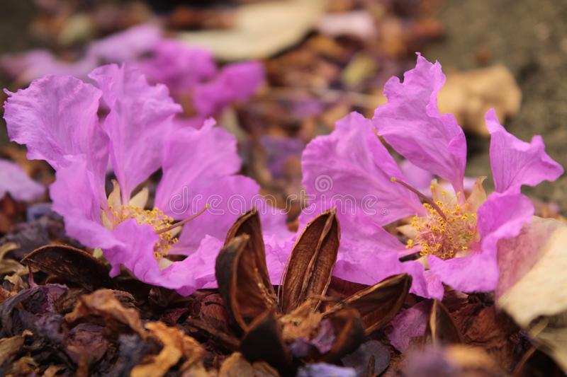 Lagerstroemia speciosa royalty free stock images