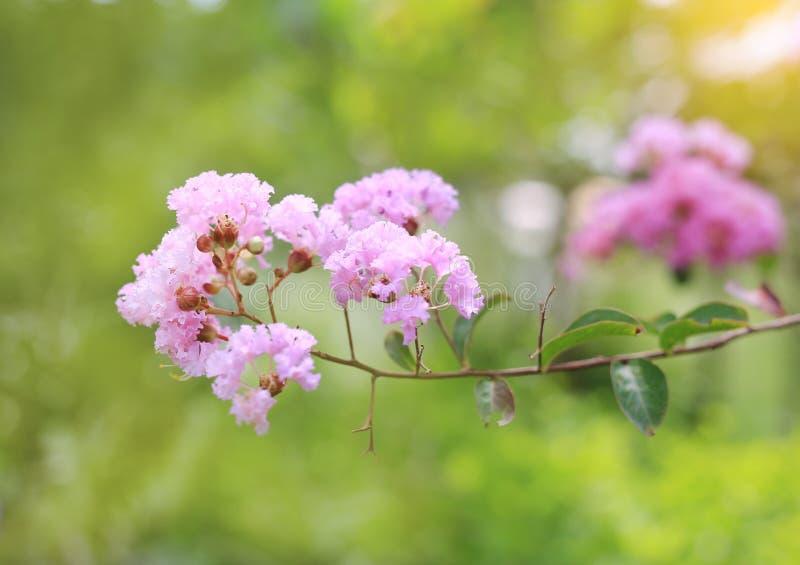 Lagerstroemia speciosa oder Knall lang Blume des indischen Subkontinents stockbilder