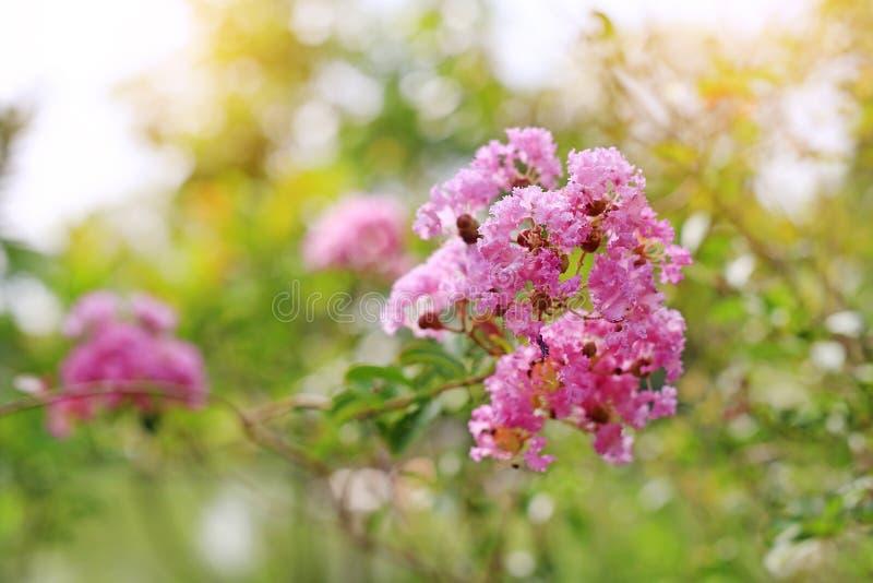 Lagerstroemia speciosa oder Knall lang Blume des indischen Subkontinents lizenzfreies stockbild