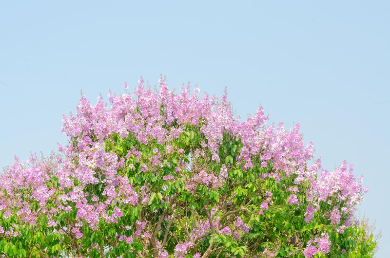 Lagerstroemia speciosa at outdoor park stock image