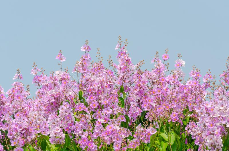 Lagerstroemia speciosa at outdoor park royalty free stock image