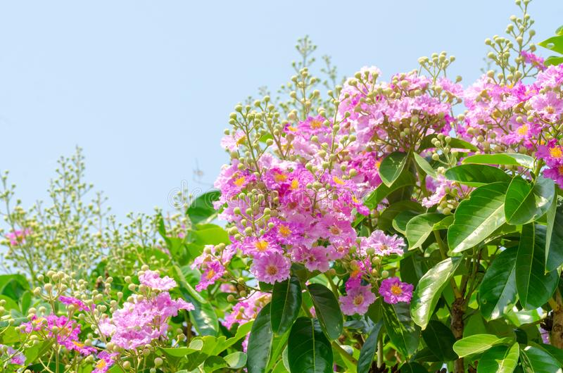 Lagerstroemia speciosa at outdoor park royalty free stock photography