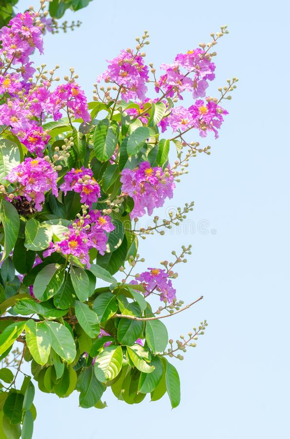 Lagerstroemia speciosa at outdoor park royalty free stock photo