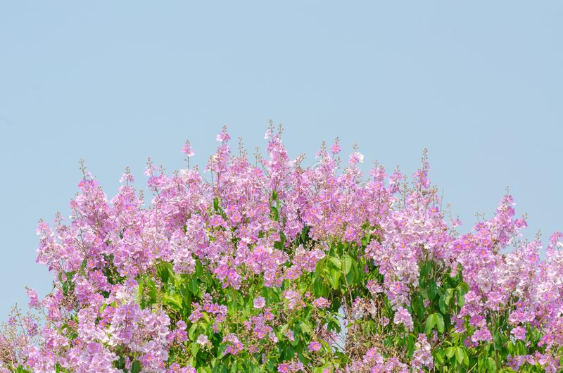Lagerstroemia speciosa at outdoor park stock images